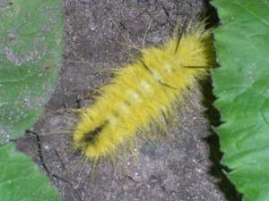 Plenty Of Nothing Fuzzy Yellow Caterpillar